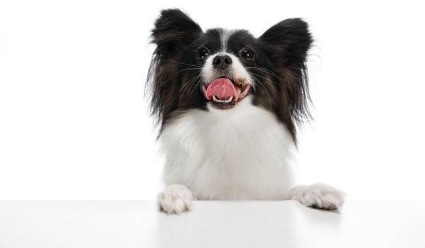 Dog Breeds For First Time Owners