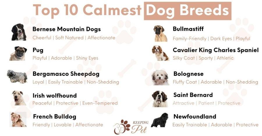 calmest-dog-breeds