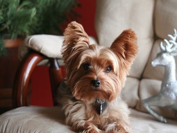 family dogs that don't shed - affenpinscher-min