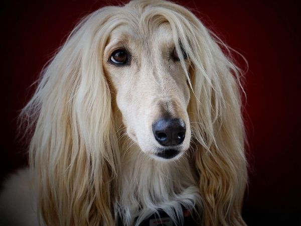 family dogs that don't shed - afghan hounds