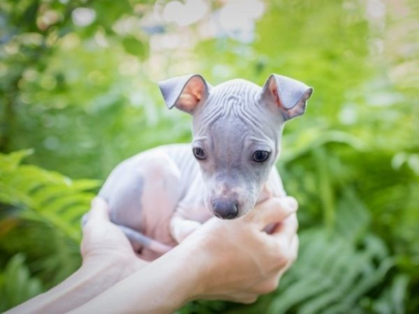family dogs that don't shed - american hairless terrier