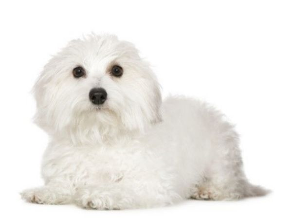 family dogs that don't shed - coton de tulear-min