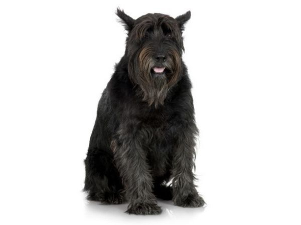 family dogs that don't shed - giant schnauzer