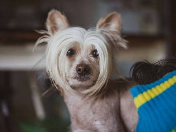 family dogs that don't shed - hairless chinese crested-min