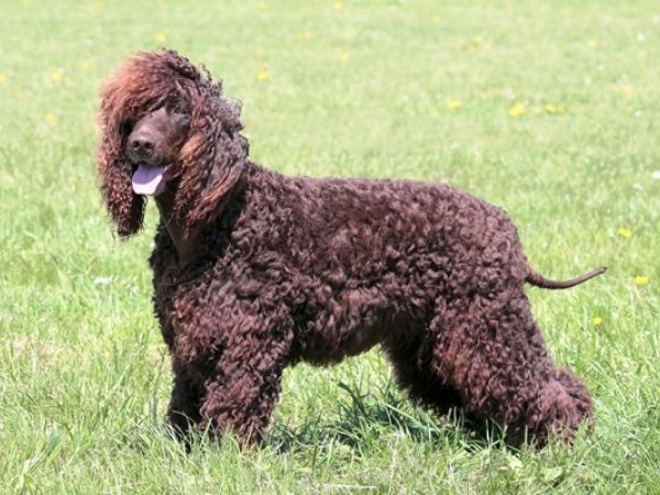 family dogs that don't shed - irish water setter-min