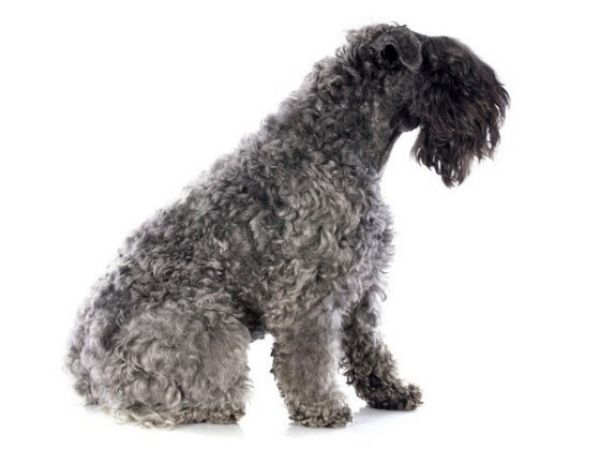 family dogs that don't shed - kerry blue terrier-min