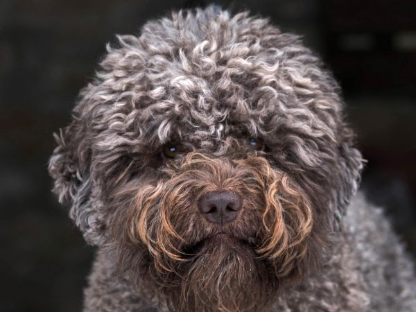 family dogs that don't shed - lagotto romagnolo