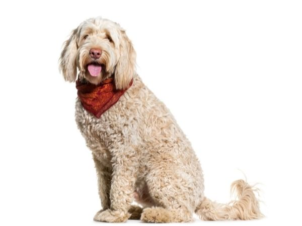 family dogs that don't shed - portuguese water dog