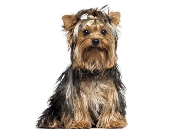 family dogs that don't shed - yorkshire terrier-min