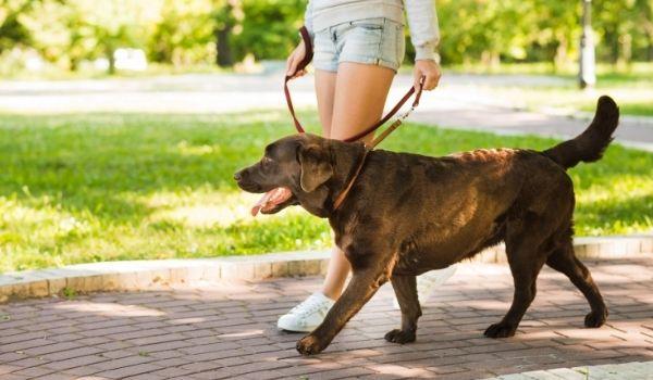 how to leash train a dog-keeping-pet