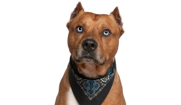 Types of Terriers - American-Staffordshire-Terrier