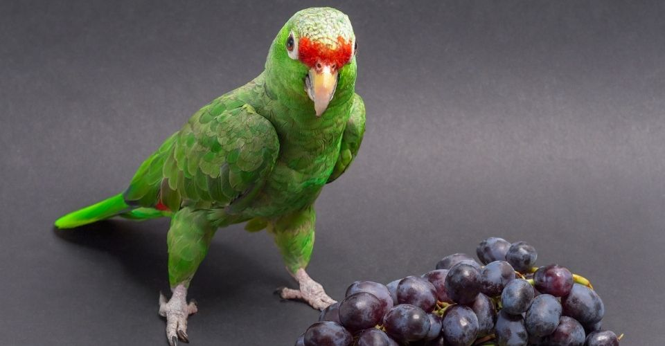 Can Parakeets Eat Grapes