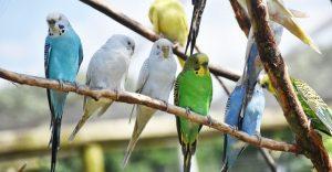 How Long do Parakeets Live