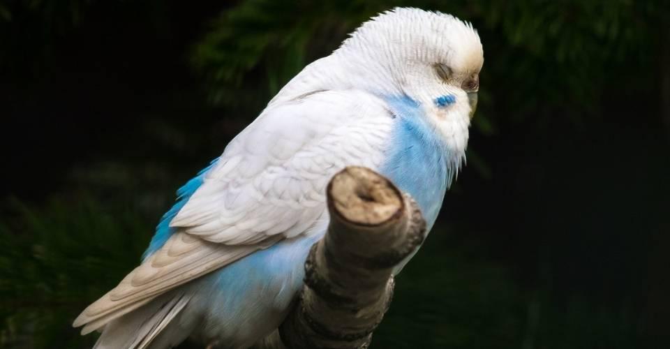 How do Parakeets Sleep