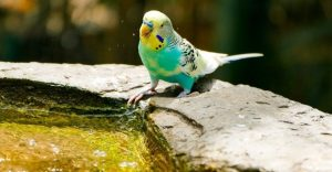 How to Care for a Parakeet