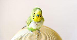 Parakeet molting