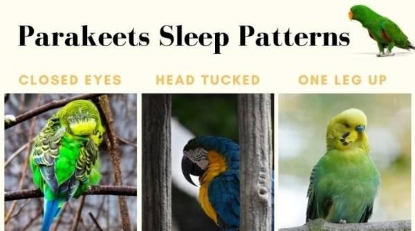 parakeets sleeping pattern
