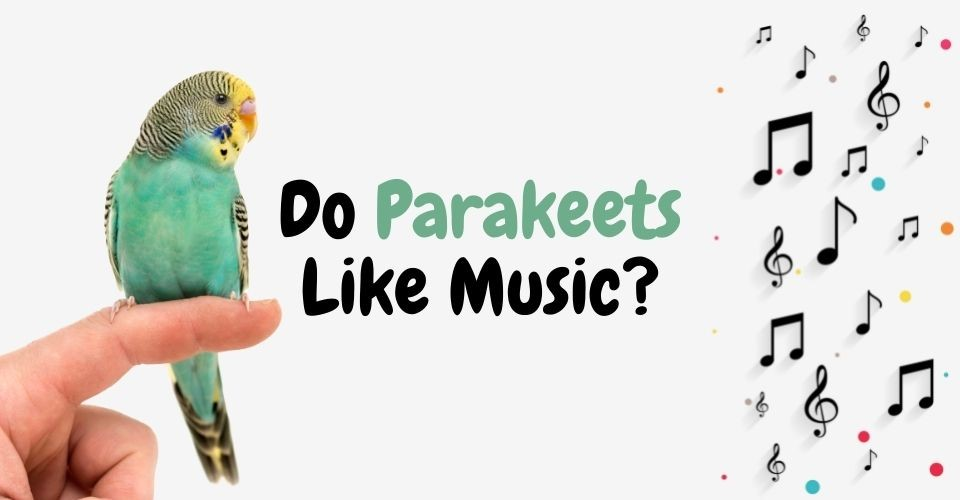 Do Parakeets like Music