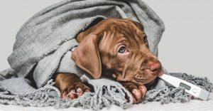 How To Tell If a Dog Has a Fever