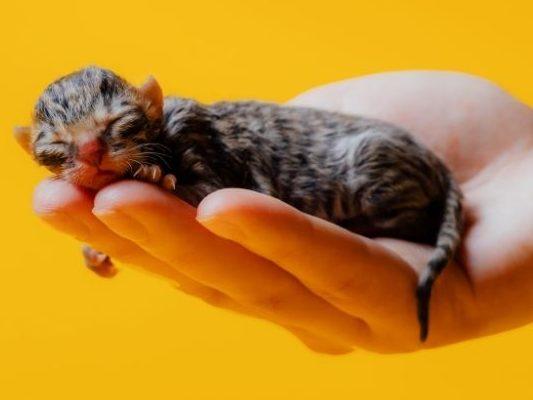 premature kitten - kitten growth chart
