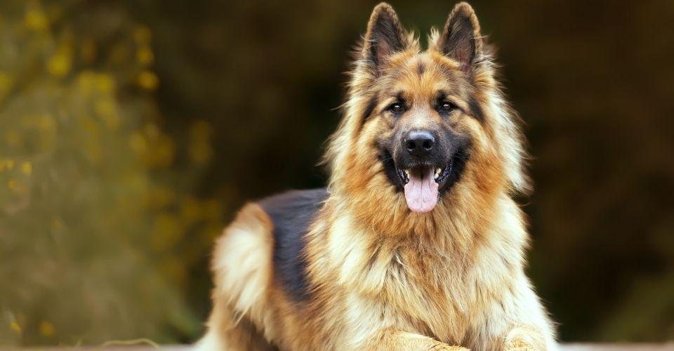 Are German Shepherds Hypoallergenic