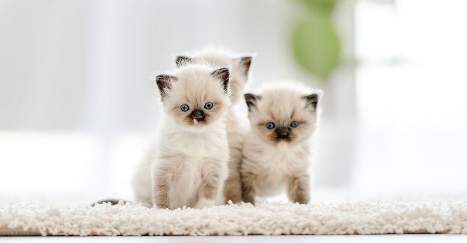 Are Ragdoll cats hypoallergenic