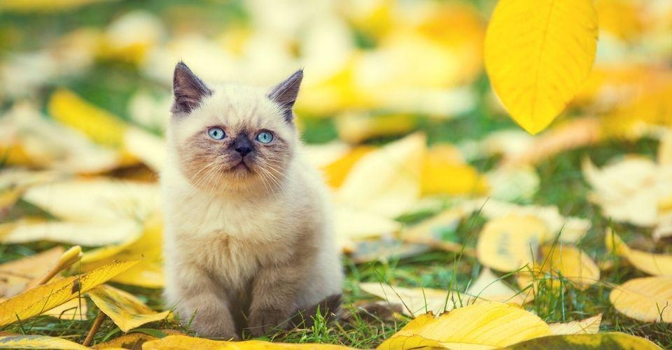 Are Siamese Cats Hypoallergenic