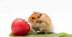 Can Hamster Eat Cherry Tomatoes