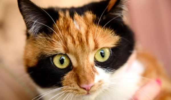 Cat breeds with big eyes