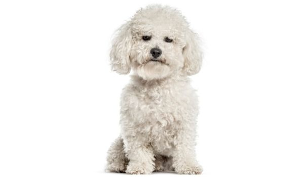 Curly-Haired-Dogs