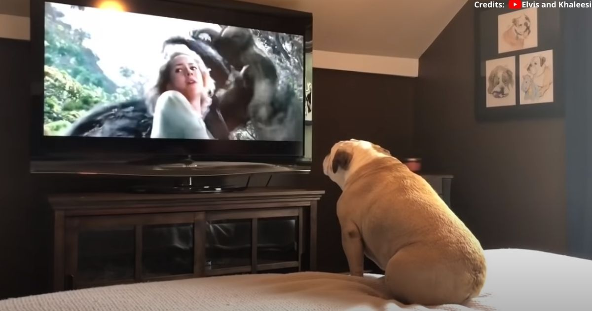 Bulldog Incredible Reaction