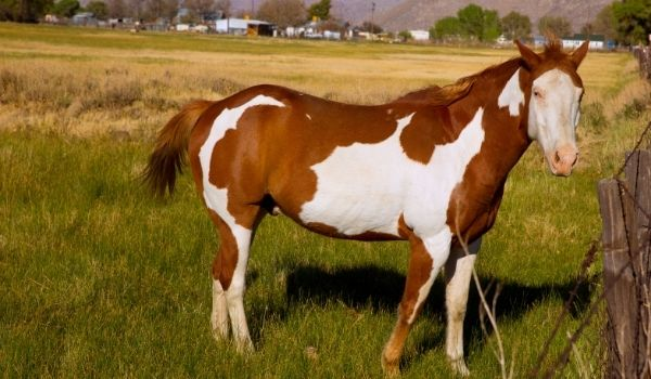 Fastest Horse Breeds-American Paint Horse