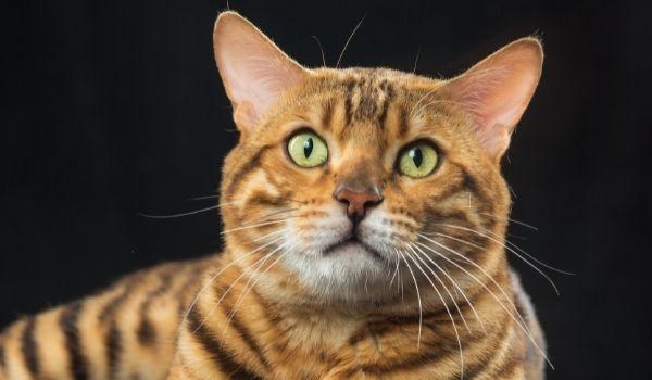 Hypoallergenic Cats