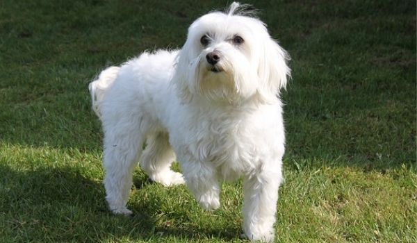 Hypoallergenic-Dogs-for-Adoption-