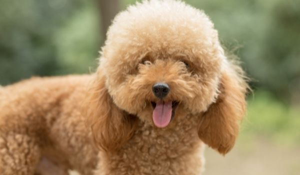 Hypoallergenic-Dogs-for-Adoption