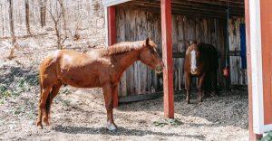Medieval War Horse breeds