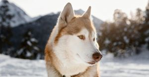 are huskies hypoallergenic