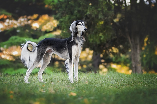 Fast dogs, fastest dog breeds, dogs running speed