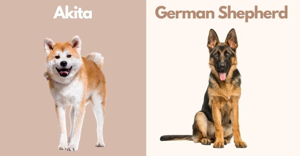 Akita German Shepherd Mix