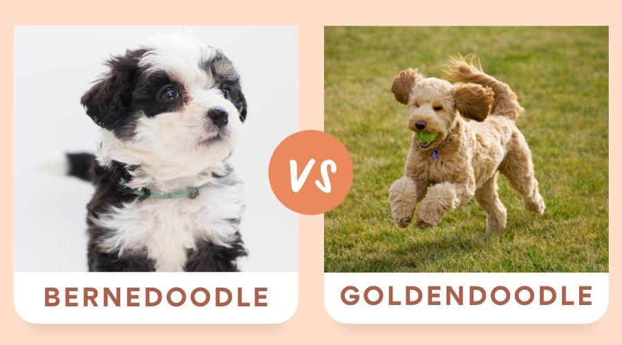 Bernedoodle vs Goldendoodle