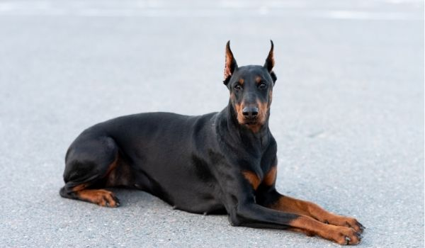 Black-And-Brown-Dogs