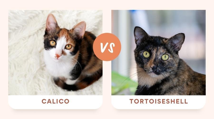 Calico vs Tortoiseshell