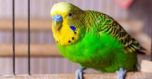 Can Parakeets Talk