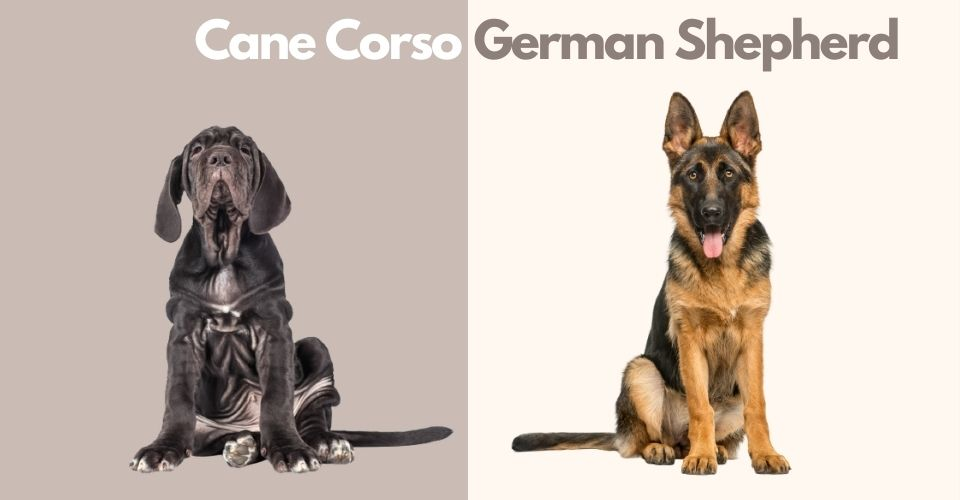 Cane Corso and German Shepherd Mix (1)