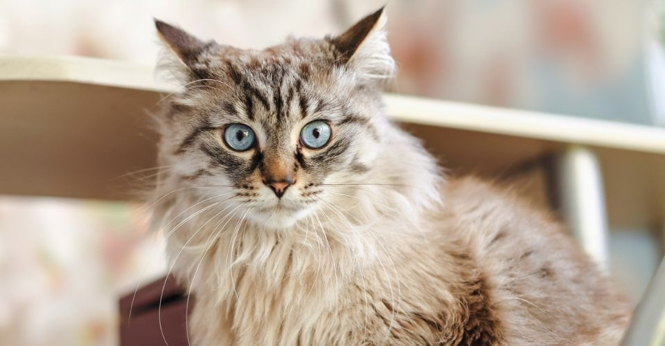 Cat breeds that don't shed