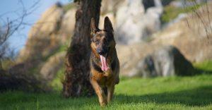 Dwarf German Shepherd