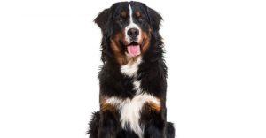 Golden Mountain Dog