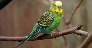 What Do Parakeets Eat
