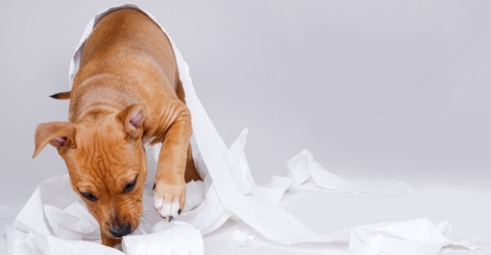 Why do dogs roll in poop