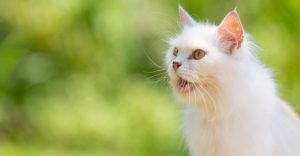 what does it mean when a cat purrs